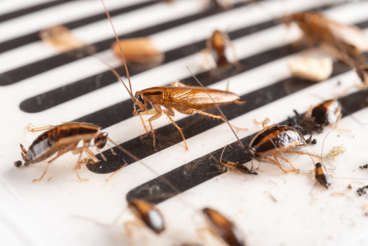 Lots of Cockroaches making Pest Control Visalia mandatory