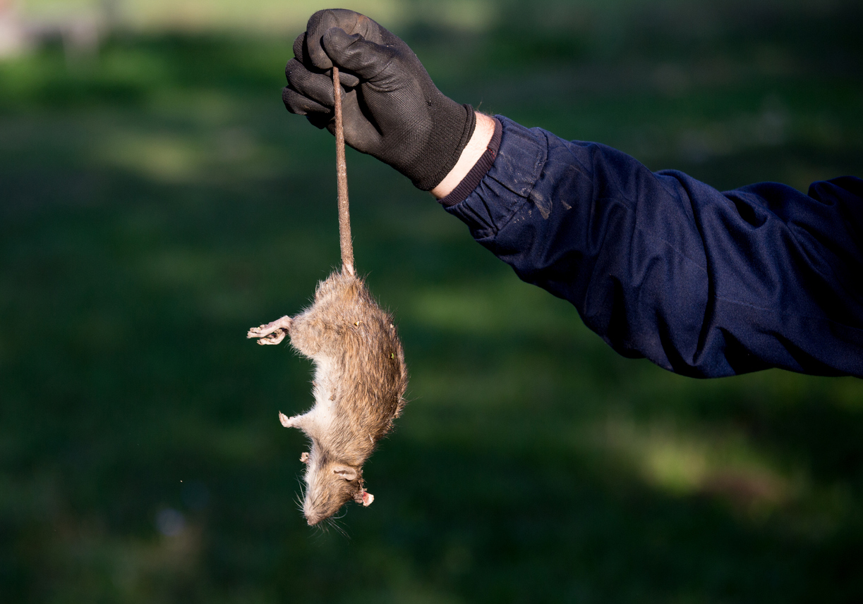 experts from rodent control Visalia warding off rats